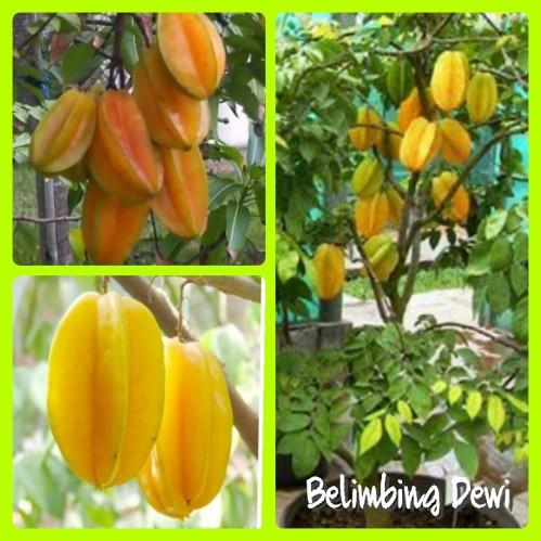 Belimbing dewi
