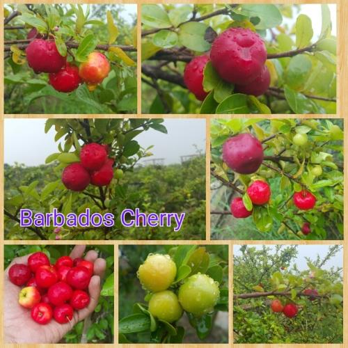 cherry barbados 1