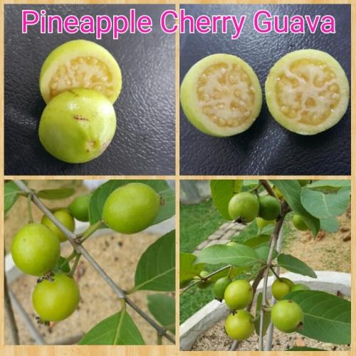 Cherry Phinepale
