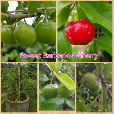 cherry sewee bar