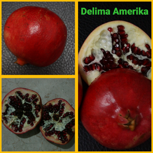 Delima Amerika