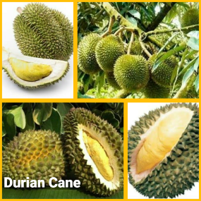 Durian Cane