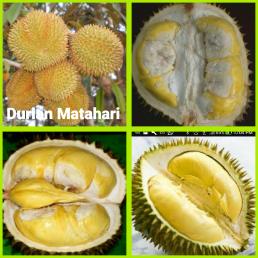 Durian Matahari