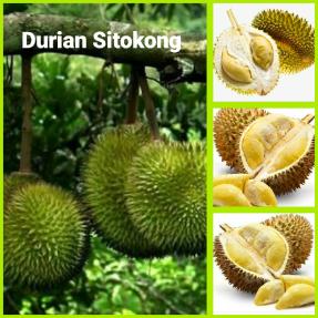 Durian sitokong