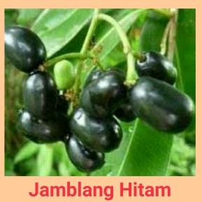 Jamblang H