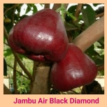 Jambu air black diamonf