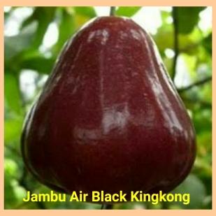 Jambu air black king