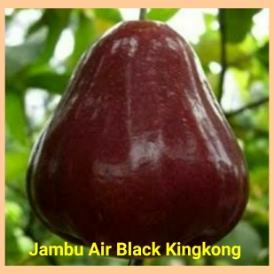 Jambu air black king