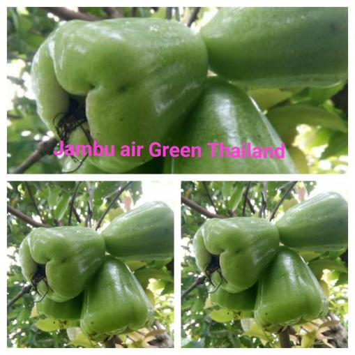 Jambu air Green Thailand