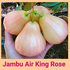 Jambu air king rose