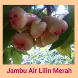 jambu air lilin merah
