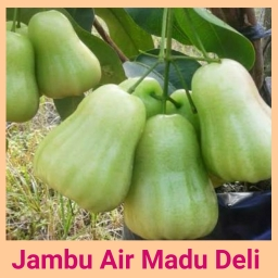 Jambu air madu deli