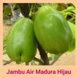 jambu air madura
