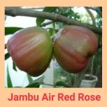 Jambu air red rose