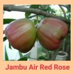 Jambu air red rose