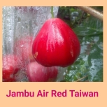 jambu air red taiwan