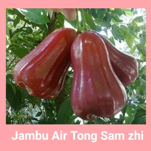Jambu air tongsamzsi