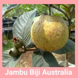 Jambu biji australia