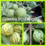 Jambu biji farigata