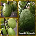 Jambu biji kimsampho