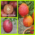 jeruk Blood Lime