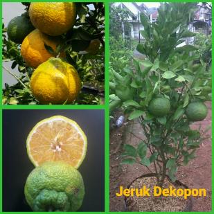 Jeruk Dekopon