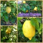Jeruk lemon eureka