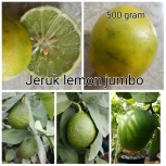 Jeruk Lemon jumbo (2)