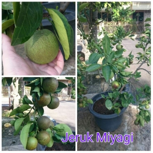 Jeruk Miyagi