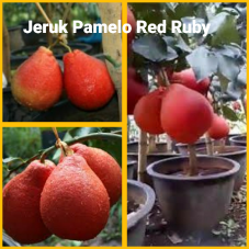 Jeruk Pamelo red ruby