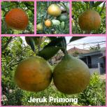 Jeruk primong
