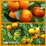 Jeruk santang