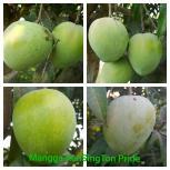 Mangga Kensinton