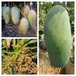 Mangga Kiojay