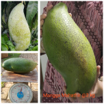 Mangga Mahatir