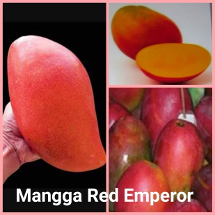 Mangga red emperor