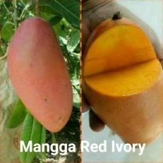 Mangga Red Ivory
