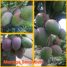 Mangga sensation
