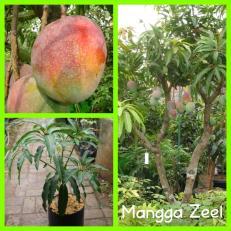 Mangga Zeel