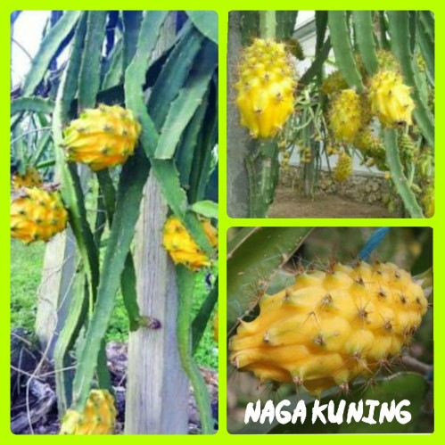Naga Kuning