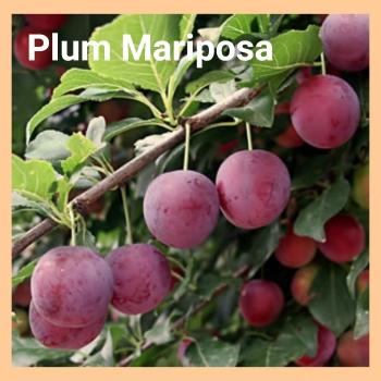 plum mariposa