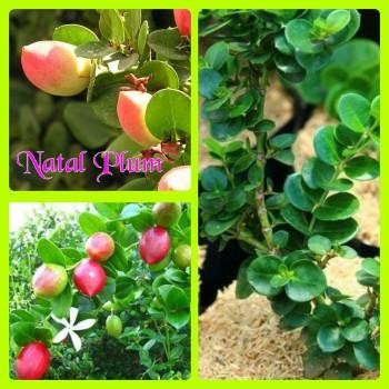 plum natal
