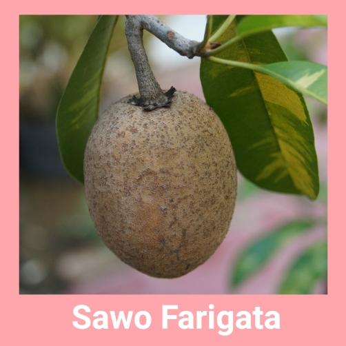 sawo farigata