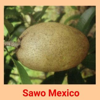sawo mexiko