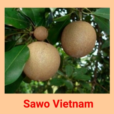 sawo vietnam