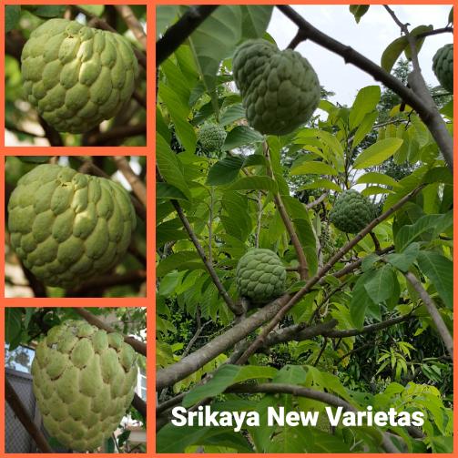 Srikaya Nv