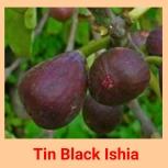 Tin Black azhia