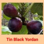 Tin Black yordan