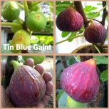 tin bluegiant