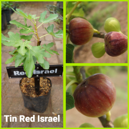 Tin red israel